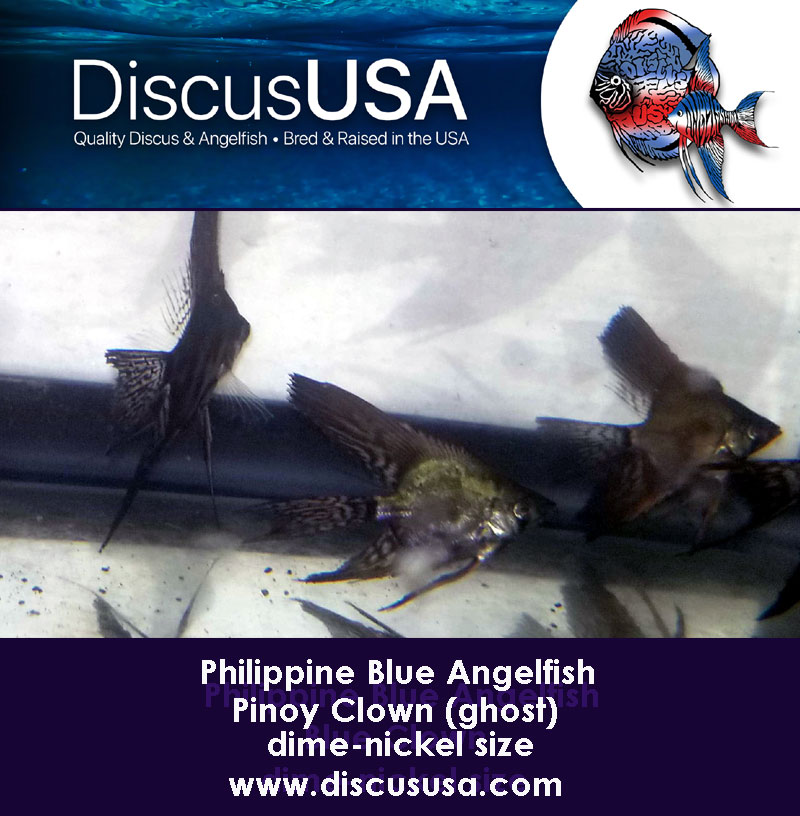 Blue Pinoy Clown Angelfish small, dime-nickel body (Pack of 5) & FREE SHIPPING