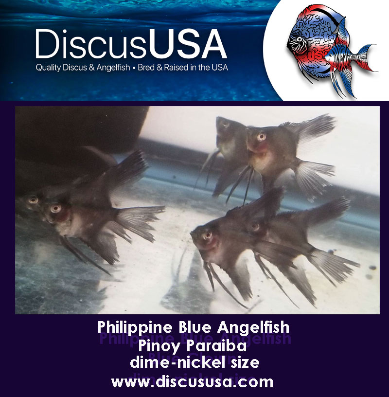 Blue Pinoy Paraiba Angelfish small, dime-nickel body (Pack of 5)