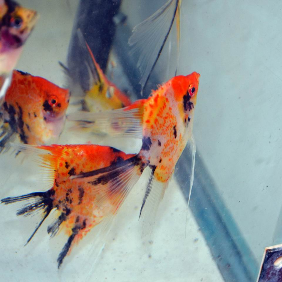 RED SPOTTED KOI VEIL ANGELFISH Small (dime size body)