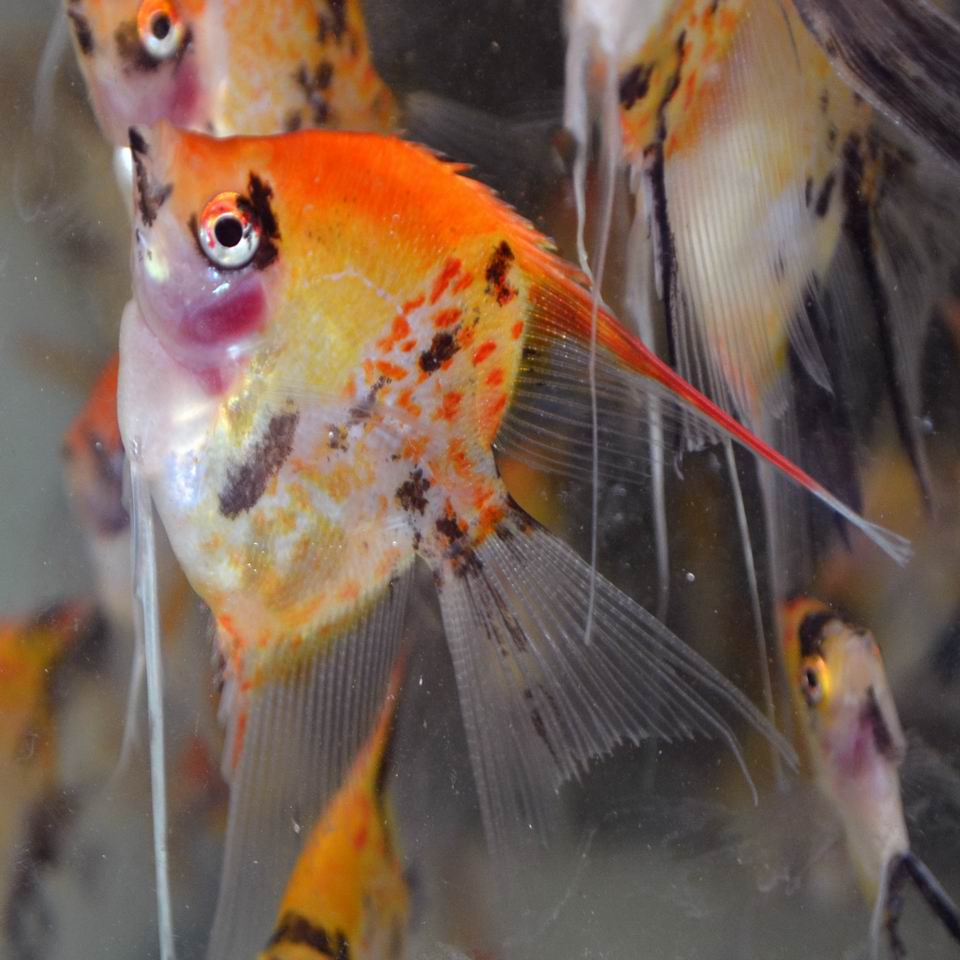 RED SPOTTED KOI VEIL ANGELFISH (Young adults)