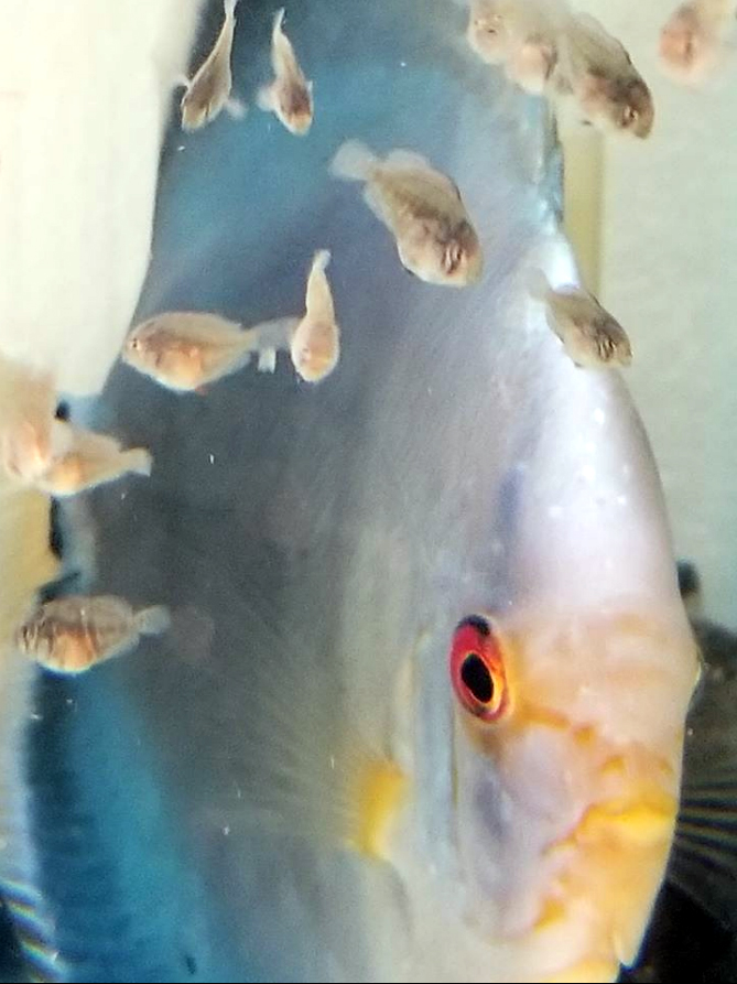 F1 BLUE COBALT X HECKEL CROSS DISCUS (PACK OF 5) APPROX DIME SIZE