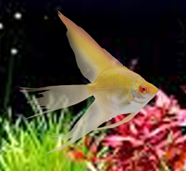 Albino Pinoy Angelfish MED(QUARTER SIZE)