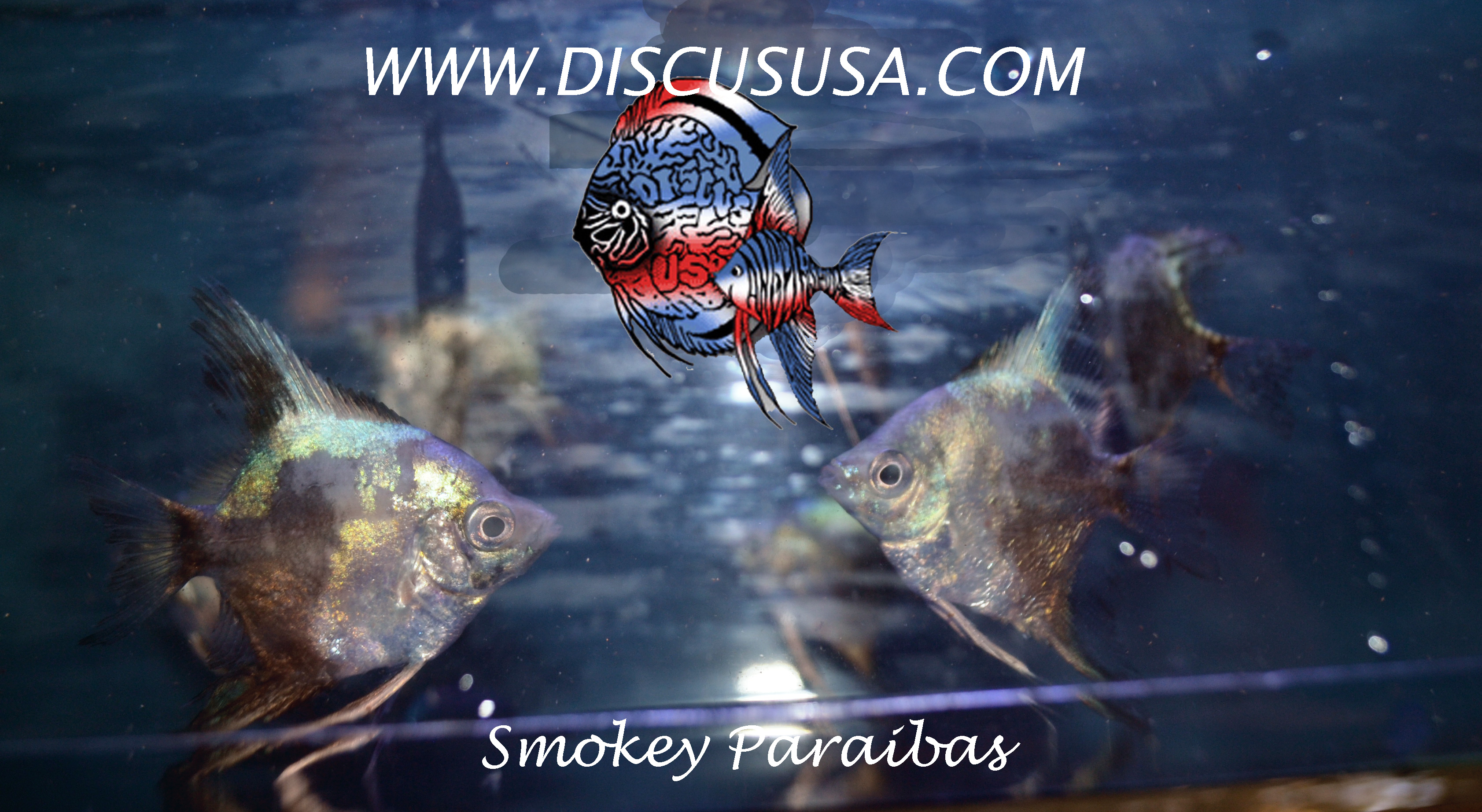 Blue Smokey Paraiba Angelfish - small (dime size)
